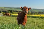 24th Apr 2020 - Happy Cow