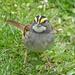 White-throated Sparrow by annepann