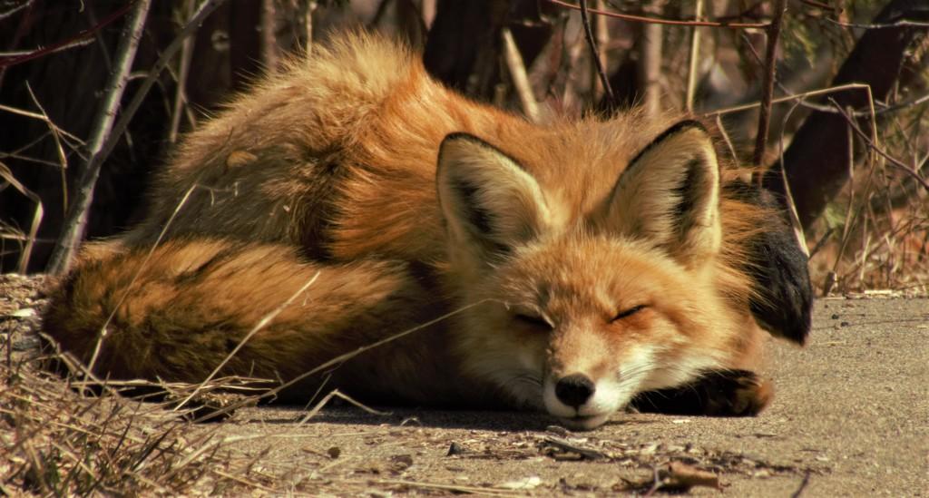 Mr Fox by radiogirl