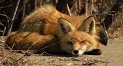 24th Apr 2020 - Mr Fox