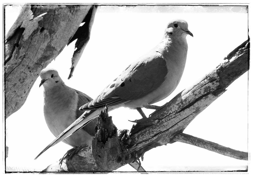 Two Doves by redy4et