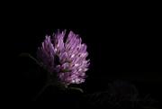 22nd Apr 2020 - Clover Flower
