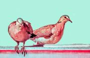 25th Apr 2020 - Cape Turtle Dove