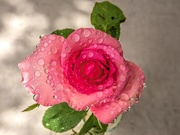 25th Apr 2020 - The last Rose for this month