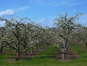 24th Apr 2020 - Orchard