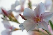 25th Apr 2020 - Oleander