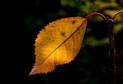 26th Apr 2020 - Autumn leaf