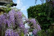 26th Apr 2020 - wisteria and sunshine