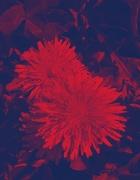 26th Apr 2020 - Dandelion