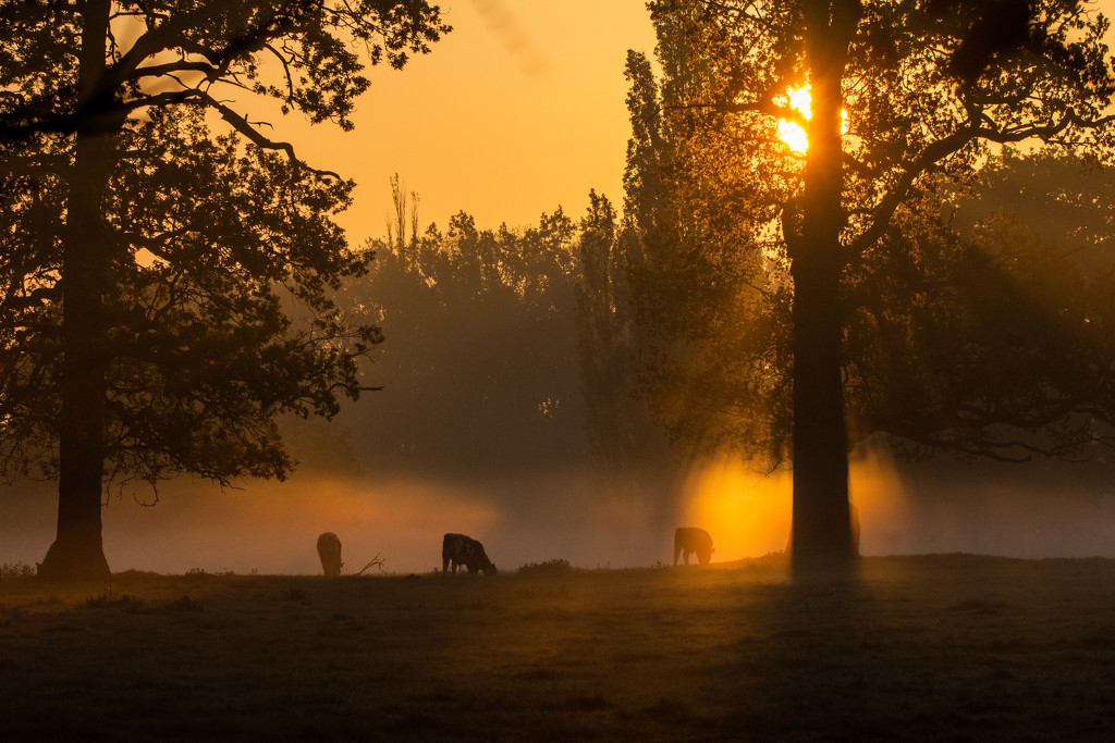 Sunrise, mist and bullocks by stevejacob