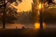 26th Apr 2020 - Sunrise, mist and bullocks