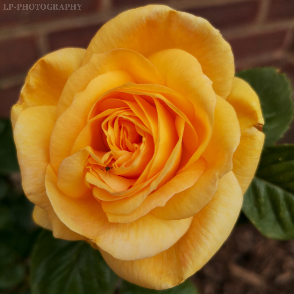 A Rose Of Any Other Name...  by tiredpanda