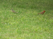 26th Apr 2020 - Two Cardinals in Front Yard