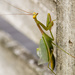 Preying Mantis by yorkshirekiwi