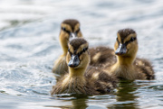 27th Apr 2020 - Mallard chicks