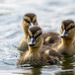 Mallard chicks by stevejacob