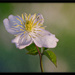 Clematis by ellida