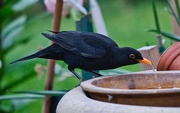 27th Apr 2020 - Blackie Havin A Dring.