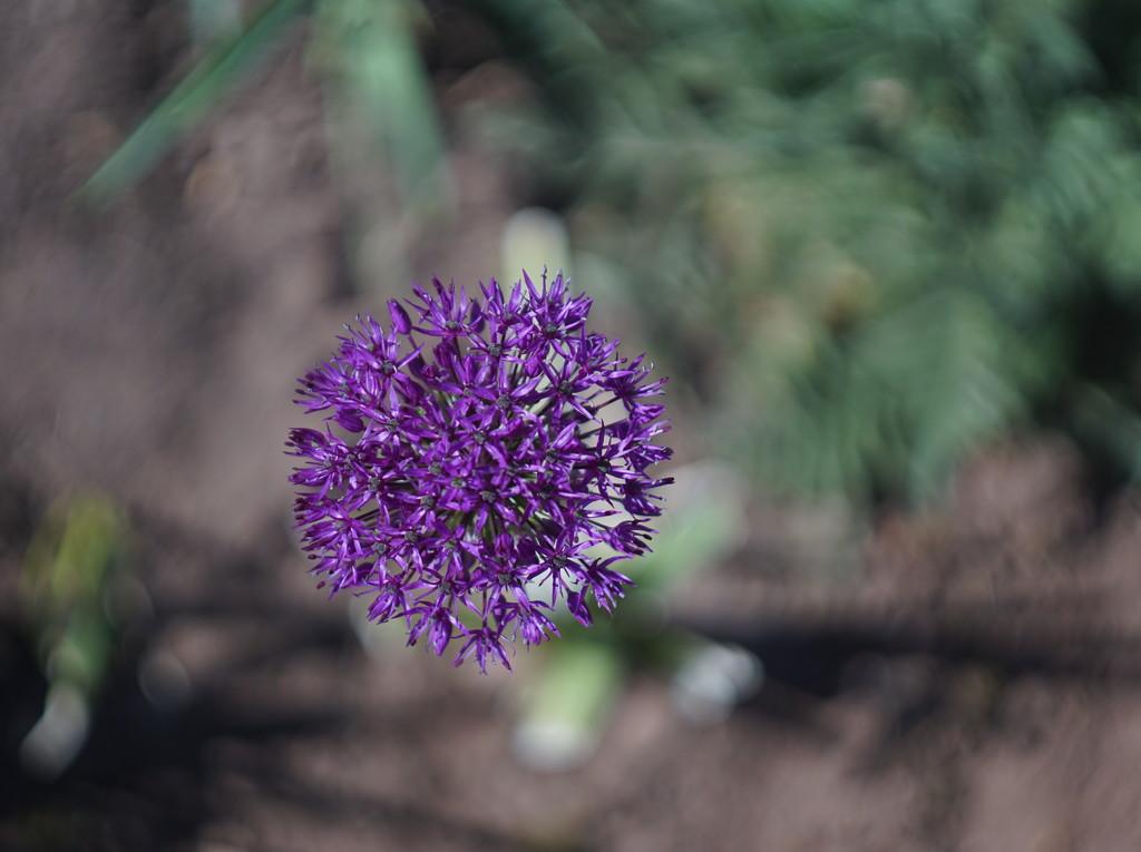 Allium Swirly Bokeh (Helios 44m-2 Vintage lens) by phil_howcroft