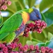 Rainbow Lorikeets To The Rescue P4280186 by merrelyn