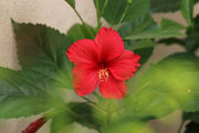 28th Apr 2020 - Hibiscus in my garden!