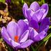 Purple crocus by elisasaeter