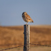 burrowing owl by aecasey