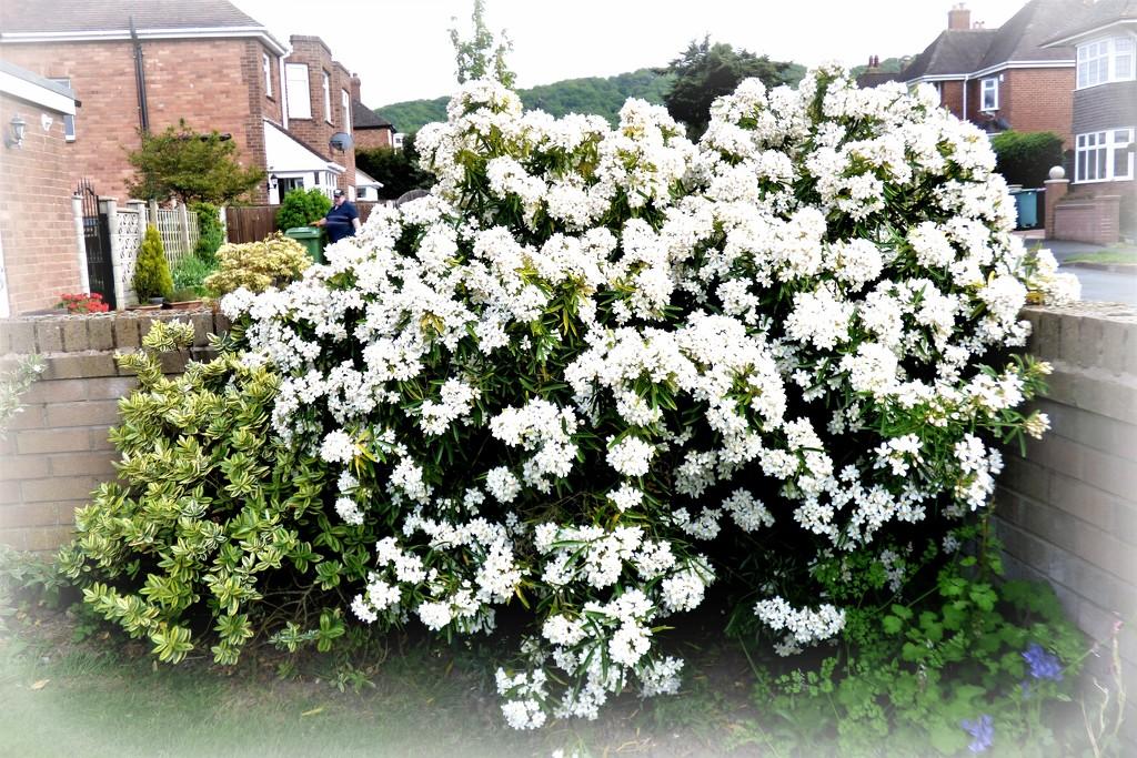 Choisia bush  by beryl