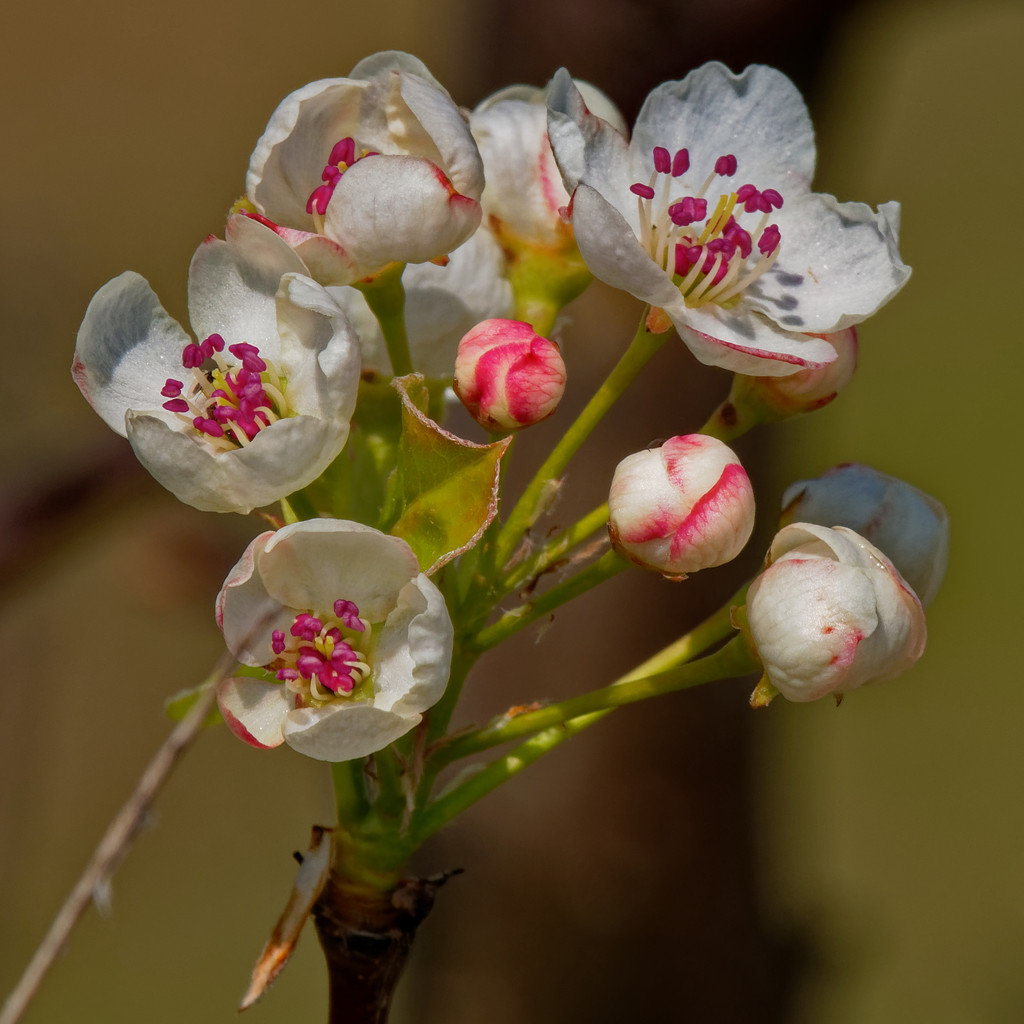pear blossoms by rminer
