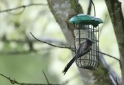28th Apr 2020 - Long Tailed Tit