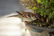 26th Apr 2020 - Sparrow hunting out caterpillars