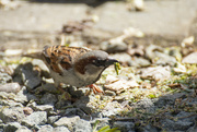 27th Apr 2020 - Sparrow with a caterpillar for lunch