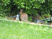 28th Apr 2020 - Rabbit in Neighbor's Yard