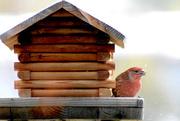 27th Apr 2020 - House Finch