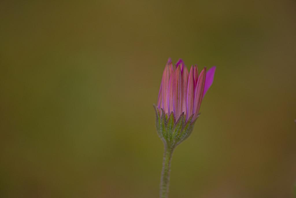 Osteospermum  by seanoneill