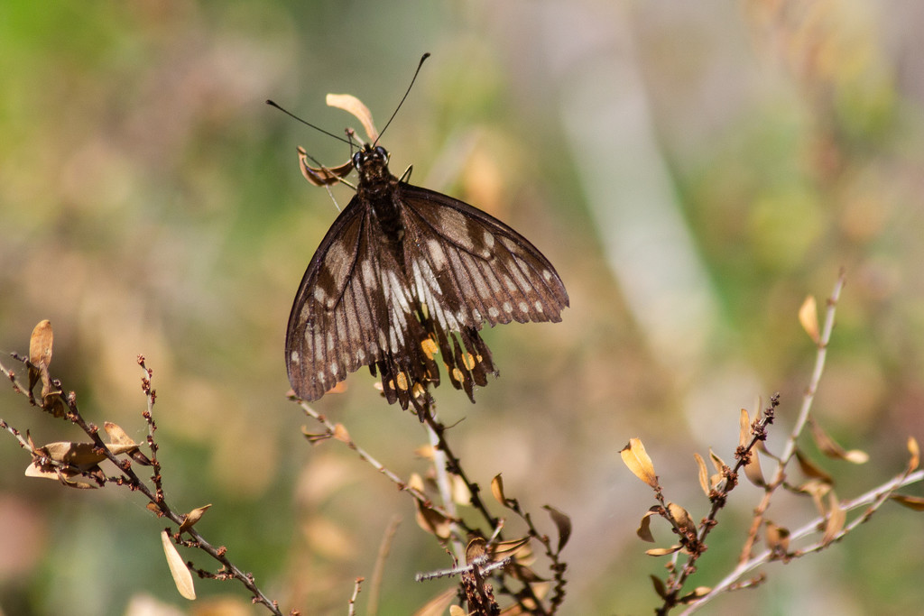 Orchard swallowtail butterfly by sugarmuser