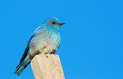 27th Apr 2020 - Blue Bird