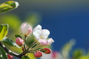 26th Apr 2020 - Apple Blossom Time