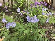 28th Apr 2020 - Garden blues