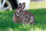 29th Apr 2020 - Spring brings bunnies to the yard.