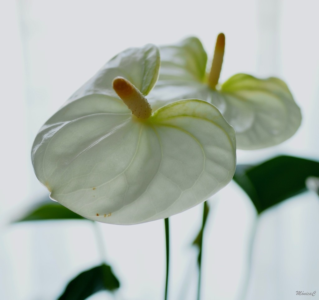 White anthurium by monicac