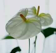 29th Apr 2020 - White anthurium