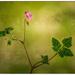Herb Robert by ellida
