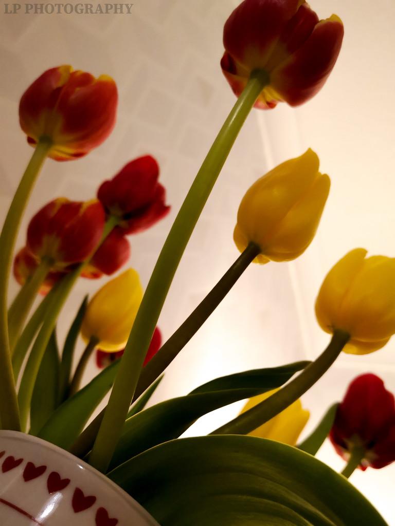 Tulip Time by tiredpanda
