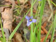 29th Apr 2020 - Blue Flower