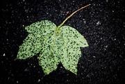 1st May 2020 - Leaf