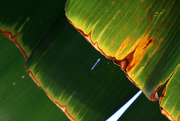 30th Apr 2020 - banana leaves