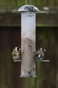 30th Apr 2020 - Goldfinch
