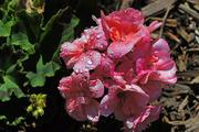30th Apr 2020 - Geranium (Pelargonium Zonale)