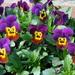 violets by gijsje
